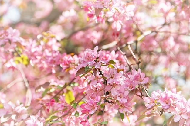 Rosa blumen auf zweig des baumes im garten. schöne kirschblüte am hellen sonnigen tag.