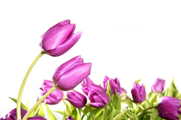 Rosa blumen der tulpen lokalisiert auf weißem hintergrund