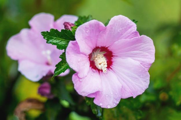 Rosa blumen des hibiskus blühten im garten eines heißen sommertages