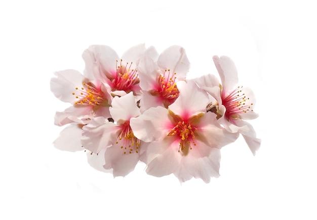 Rosa blumen des mandelbaums lokalisiert auf weißem hintergrund