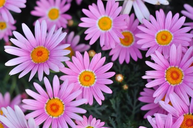 Rosa blumen, die im garten blühen