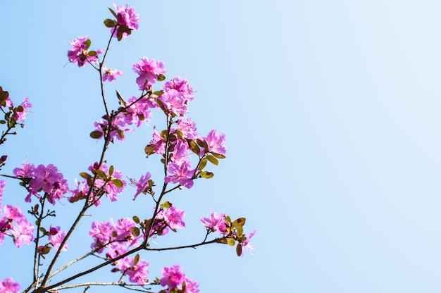 Rosa blumen eines großen busch-rhododendrons auf dem hintergrund des blauen himmels.