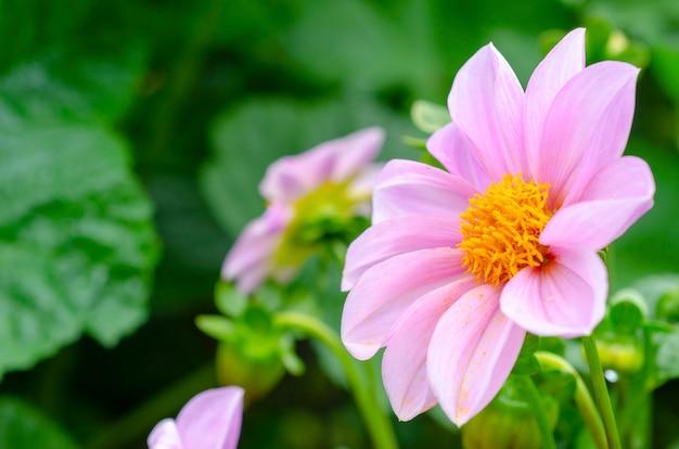 Rosa blumen, gemusterter hintergrund verwischt