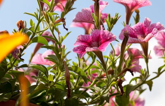 Rosa blumen im sommer