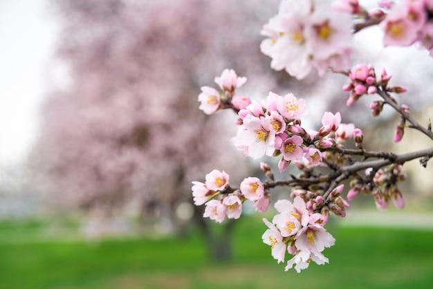 Rosa blumen, mandelbaumzweig, der im frühling blüht