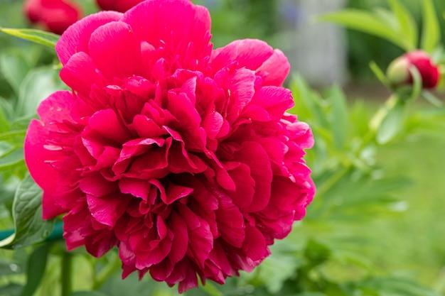 Rosa blumen pfingstrosen blühender pfingstrosengarten.