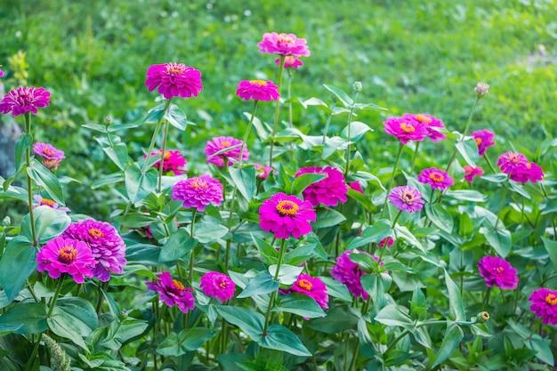 Rosa blumen sind zinnie im garten auf dem blumenbeet