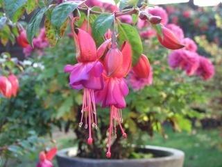 Rosa blumen, topf