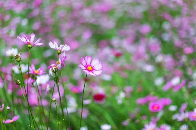 Rosa blumenkosmos blühen schön im garten.