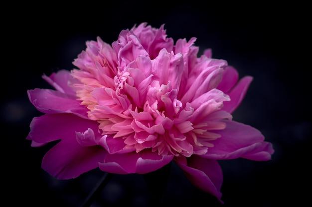 Rosa blumenpfingstrose vor dem dunklen hintergrund.