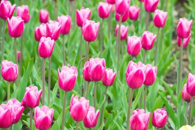 Rosa blumentulpen im grünen schönen park