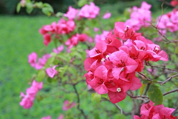 Rosa bouganvillaperpapierblume im garten.