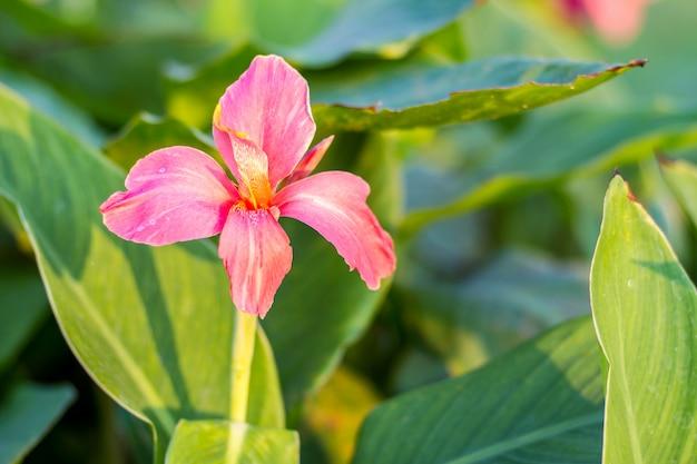 Rosa canna-blume (canna indica) im garten mit unscharfem hintergrund