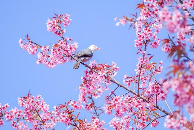 Rosa cherry blosssom mit weißköpfigem bulbulvogel