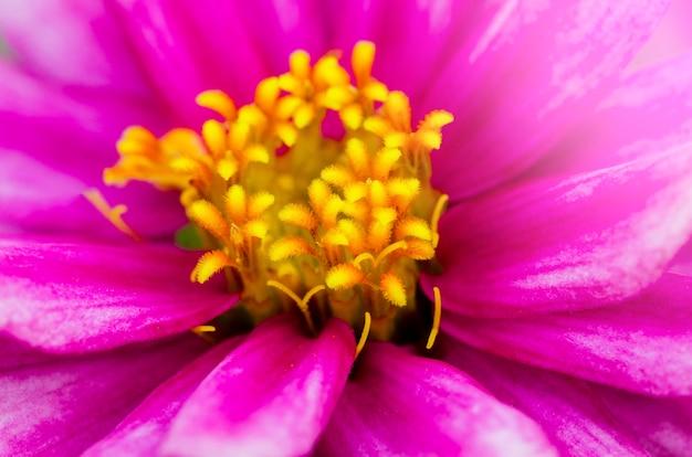 Rosa chrysantheme mit unscharfem musterhintergrund