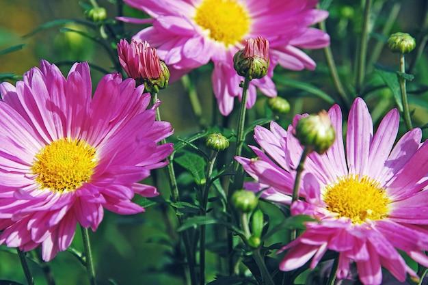 Rosa chrysanthemen im herbstgarten