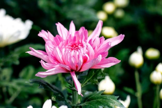 Rosa chrysanthemenblumen
