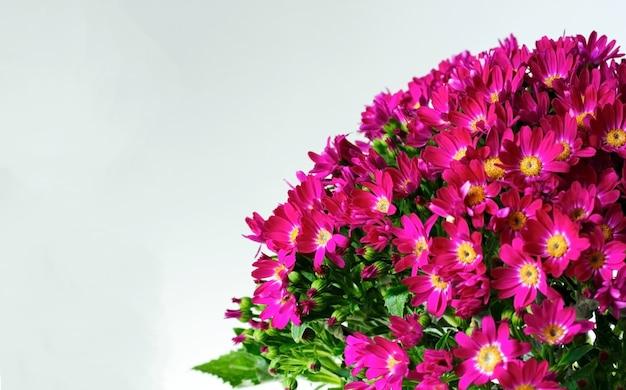 Rosa cineraria blüht mit grünen blättern