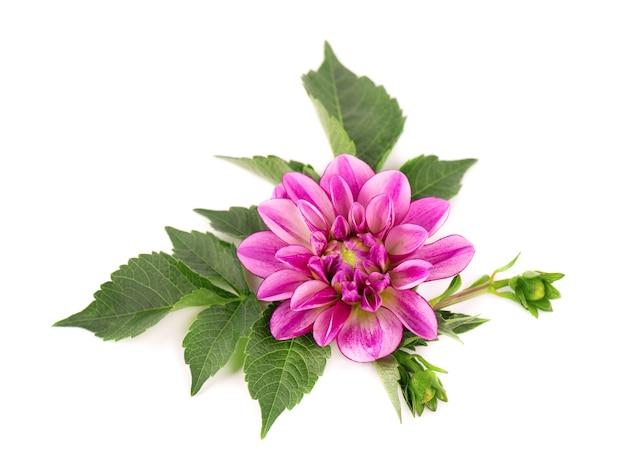 Rosa dahlienblume isoliert