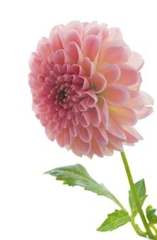 Rosa dahlienblumen isoliert