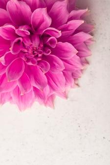Rosa dahlienblumen-nahaufnahme