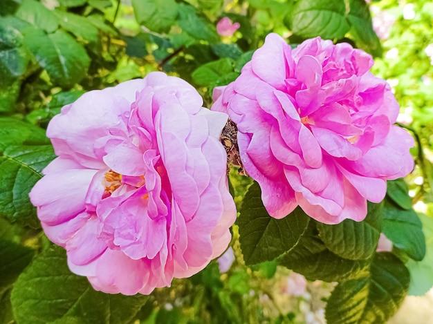 Rosa damastrosen im garten.