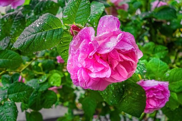 Rosa damastrosenblume mit regentropfen im garten.