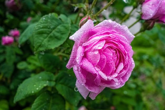 Rosa damastrosenblume nach regen im garten.