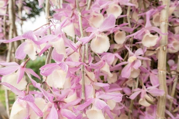 Rosa dendrobiumblumen, die auf der straße in einer stadt blühen