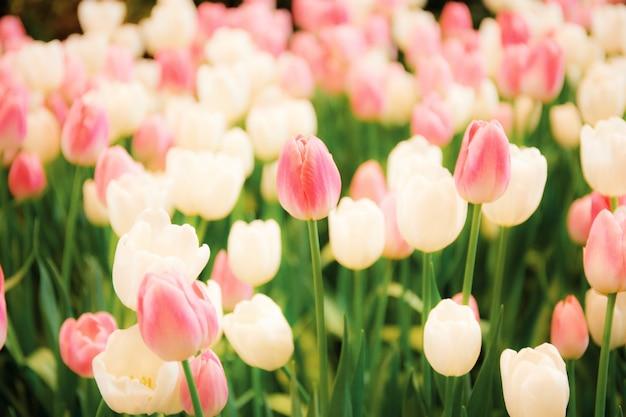 Rosa der tulpe im garten.