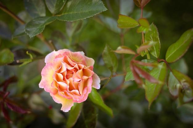 Rosa empfindliche rosenblumen im garten