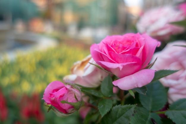 Rosa feenrosen sind im garten.