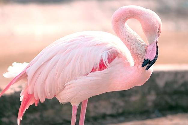 Rosa flamingo anmutiger und sanfter vogel steht gesenktem kopf