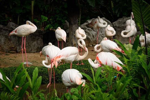 Rosa flamingo: der große flamingo ist das am weitesten verbreitete mitglied der flamingofamilie.