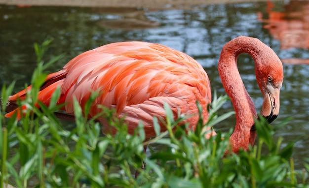 Rosa flamingo steht neben einem teich in der natur