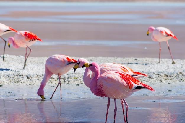 Rosa flamingos an