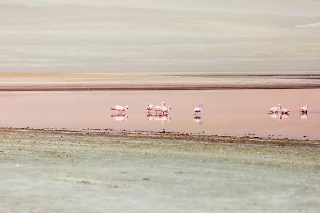 Rosa flamingos in der wüste von ica peru