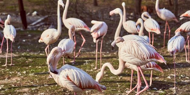 Rosa flamingos in der zoomenge von den vögeln, die auf das gras gehen