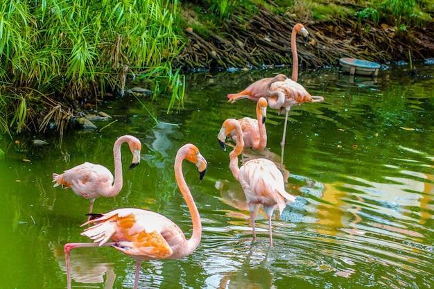 Rosa flamingos thront in einem teich in der dominikanischen republik