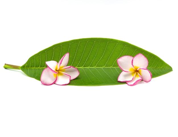 Rosa frangipani lokalisiert auf weißem hintergrund