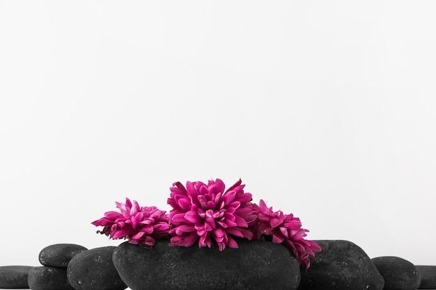 Rosa frische blumen über den schwarzen steinen gegen weißen hintergrund