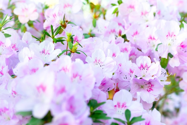 Rosa frühlingsblumen azalee rhododendron im garten