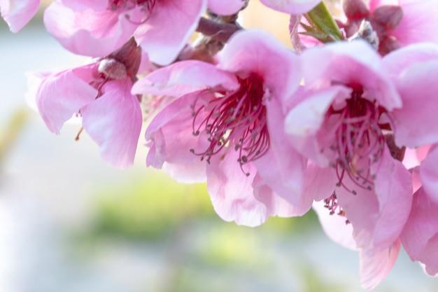Rosa frühlingsblumengrenze. pfirsichblüte blüht