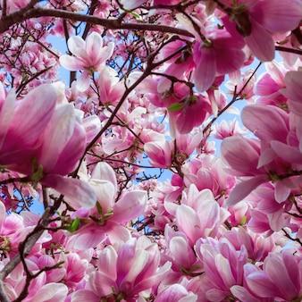 Rosa frühlingsmagnolie in voller blüte. quadratisches foto.
