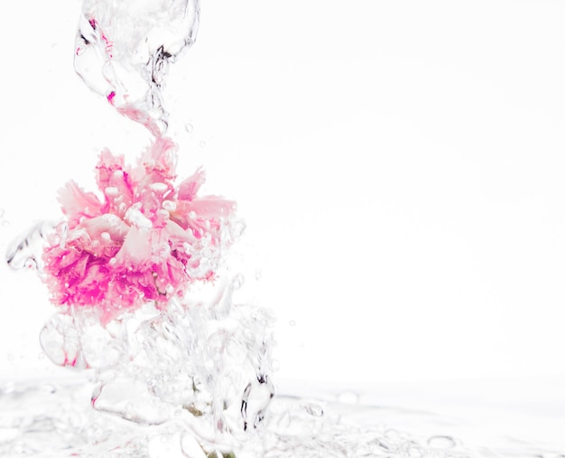 Rosa gartennelke, die in wasser fällt