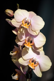 Rosa gelbe orchideenblüte auf dunklem hintergrund