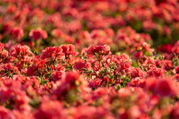 Rosa geranie blüht.