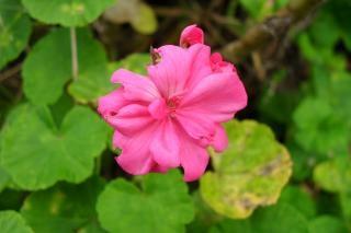 Rosa geranien, natur