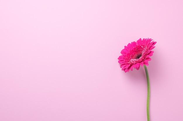 Rosa gerberablume auf einem rosa hintergrund