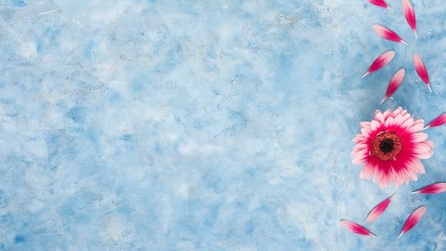 Rosa gerberablume mit den blumenblättern auf blauer tabelle